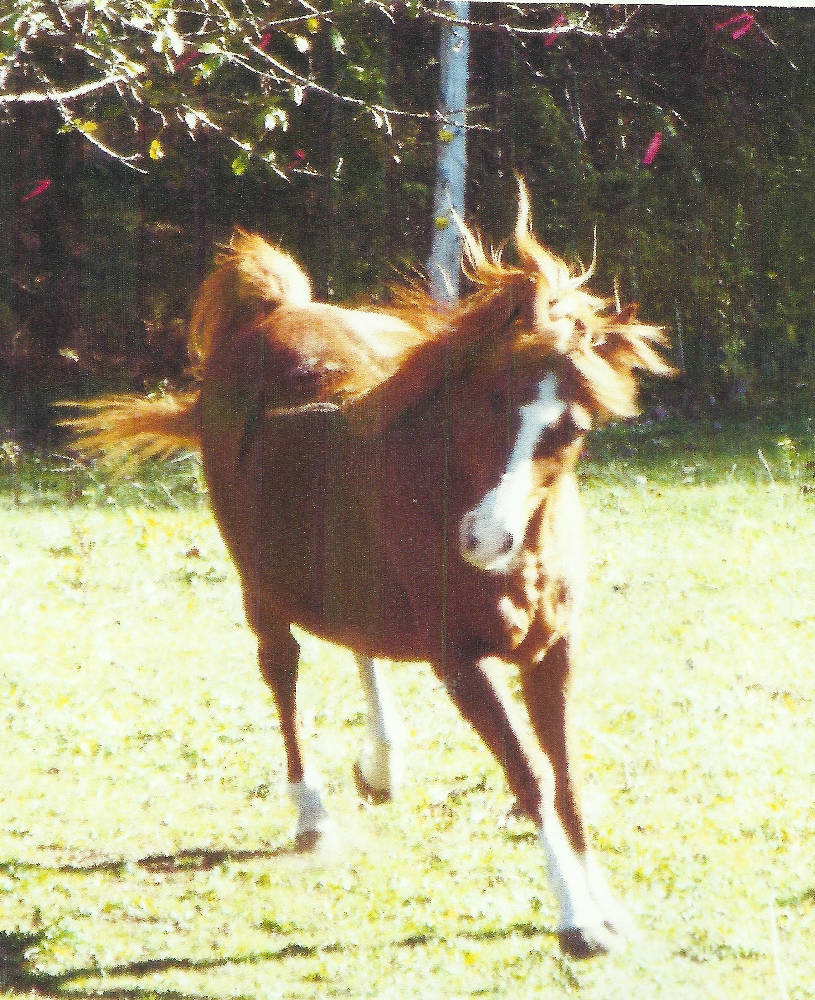 SK Bold Eclipse (Bold Ventore x Crystal Eclipse) 1997 Chestnut Stallion