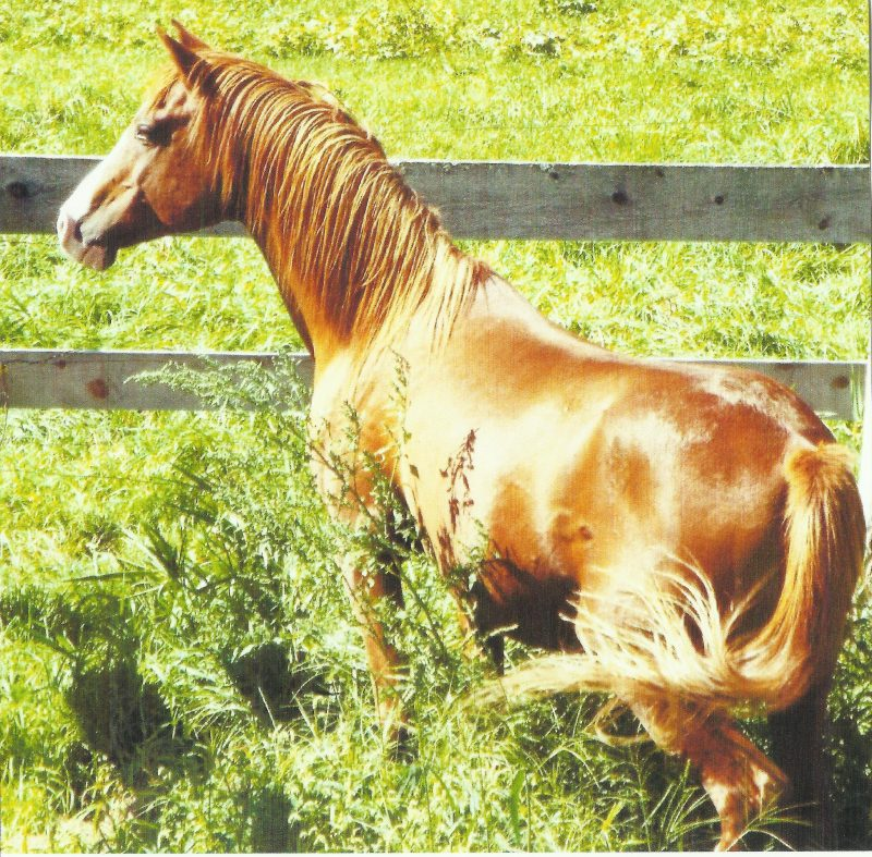 SK The Sun Magician (Heir tothe Sun x Rosalaina) 1999 Chestnut Stallion bred and owned by Sunh Kyst Arabians.